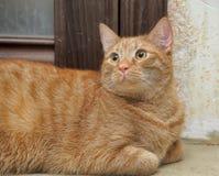 Configurations rouges dodues de chat photos libres de droits