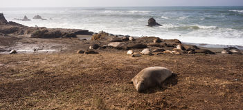 Configurations sauvages de mammifère de joint d'éléphant reposant le bord de la mer de l'océan pacifique photos libres de droits