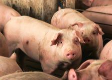 Confinamento do porco Imagens de Stock