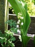 Confine bianco del fiore del giardino del mughetto Immagine Stock Libera da Diritti