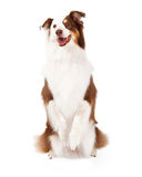 Confine Collie Begging e guardare in avanti fotografia stock