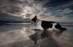 Confine Collie Dog Fotografia Stock Libera da Diritti