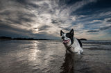 Confine Collie Dog Fotografia Stock