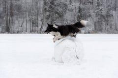Confine Collie Dog Jump sopra la palla della neve Inverno Fotografia Stock Libera da Diritti