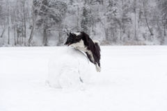 Confine Collie Dog Jump sopra la palla della neve Inverno Fotografie Stock Libere da Diritti