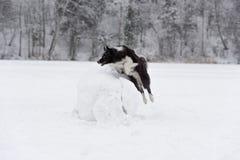 Confine Collie Dog Jump sopra la palla della neve Inverno Fotografie Stock