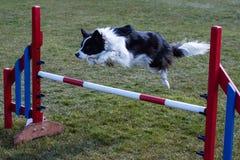 Confine Collie Jumping sopra l'ostacolo di agilità Immagini Stock