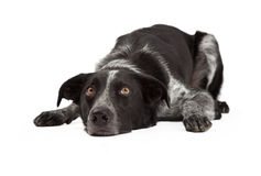 Confine Collie Laying Head Down Fotografia Stock