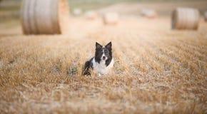 Confine Collie Lying sul campo dopo il raccolto Immagini Stock
