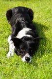 Confine Collie Puppy Dog Eyes Fotografia Stock Libera da Diritti