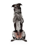 Confine Collie Sitting Paws Up Fotografie Stock Libere da Diritti