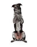 Confine Collie Sitting Paws Up Fotografie Stock Libere da Diritti