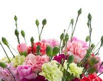 Confine dei fiori del garofano Fotografie Stock