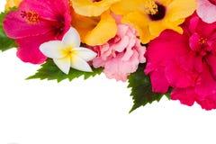 Confine dei fiori variopinti dell'ibisco Fotografia Stock