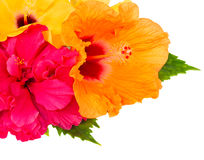 Confine dei fiori variopinti dell'ibisco Fotografia Stock Libera da Diritti