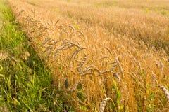 Confine del giacimento di grano Fotografie Stock