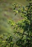 Confine dell'albero di abete Immagini Stock