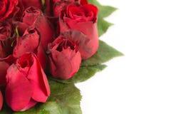Confine di belle rose rosse fresche del giardino isolate sul BAC bianco Fotografia Stock