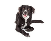 Confine felice Collie Mix Breed Dog Laying Fotografie Stock