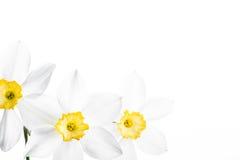 Confine floreale della primavera, bello narciso fresco Immagine Stock