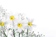 Confine floreale della primavera, bello narciso fresco Immagini Stock Libere da Diritti