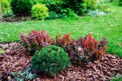 Confine misto del giardino con ammirazione di thunbergii del berberis ed il Picea Mariana Nana Immagine Stock Libera da Diritti