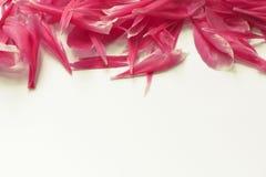 Confine rosa orizzontale della peonia Immagine Stock