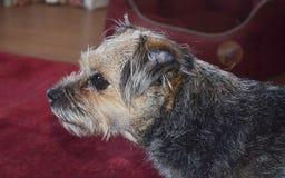 Confine Terrier Fotografia Stock