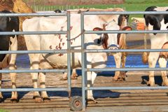 Confined and Imprisoned Cow. Close, profile view of a Hereford dairy cow standing against the heavy metal railing used to keep the animal imprisoned and confined stock photography