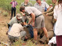 Confirming if rhino's existing microchip was removed during trim. MAGALIESBERG, SOUTH AFRICA - October 14: Dehorning of rhinos in Askari Game Lodge, to protect Stock Photos