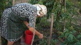 Confiserie naturelle La grand-maman moissonne des tomates Agriculture biologique de consommation saine banque de vidéos
