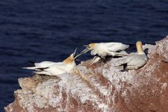 Conflict. Between two pairs of northern gannets Stock Image