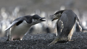 The conflict Antarctic penguins. The conflict of two Antarctic penguins on the shore