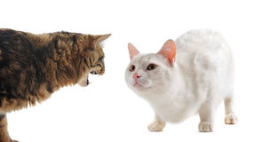 Conflict between cats. Picture of two cats in a conflict in front of a white background stock image