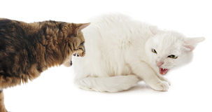 Conflict between cats. Picture of two cats in a conflict in front of a white background stock photo