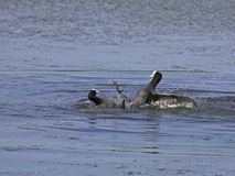 Conflict between coots. On a blue lake Royalty Free Stock Image