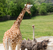 Conflict with giraffe and ostrich in the zoo.  Royalty Free Stock Photo