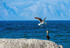 Conflict of a Kelp gull and cormorant Cape Cormorant stock photos