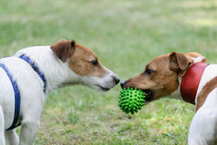 Conflict moment before war. Two dogs ready to fight for toy Stock Images