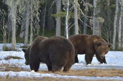 The conflict of two brown bears for domination Royalty Free Stock Image