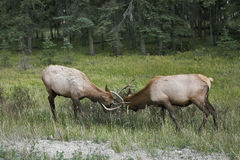 The conflict between two deers. Royalty Free Stock Images