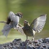 Conflicto de los pájaros fotografía de archivo