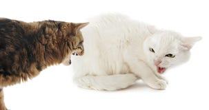Conflicto entre los gatos foto de archivo
