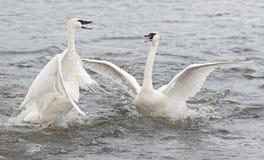 Conflito da cisne da trompetista (Cygnus buccinator) imagens de stock royalty free