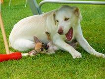 Conflito das chihuahuas e do golden retriever dos cães Fotografia de Stock Royalty Free