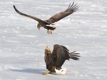 Conflito de Eagles Imagem de Stock Royalty Free