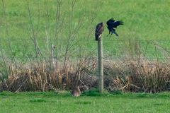 Conflito na natureza porque um corvo ataca um buteo do buteo do busardo enquanto um coelho continua a comer a grama fotografia de stock