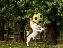 Conflitos pequenos do cão com bola grande imagem de stock royalty free