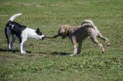 Conflitto del gioco di due cani con un bastone immagini stock
