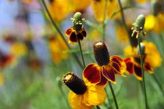 Conflower als Vingerhoedjebloem die wordt bekend Stock Foto